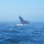 humpbacks at play