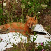 Baby fox finds old mattress and makes it his own bed.
