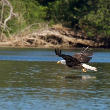 Bald Eagle snaring fish.