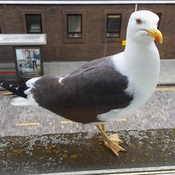 Scottish seagull