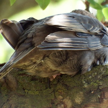 Snoozing Sparrow