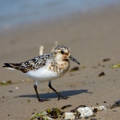 Shorebird Migration is Underway