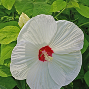 Giant White Hibiscus !