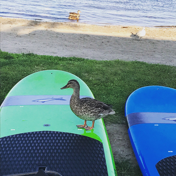 Duck on a SUP