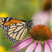 Monarch on an Echinacea flower