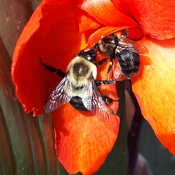 Bees on canna lily