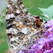 On the butterfly Bush