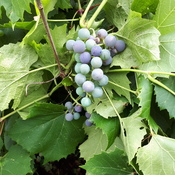 Grapes heavy on the vine