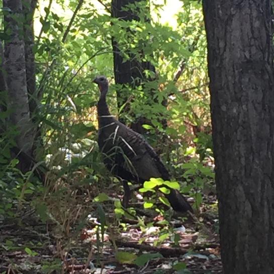 Wild turkey 🦃 Orléans, Ontario, CA