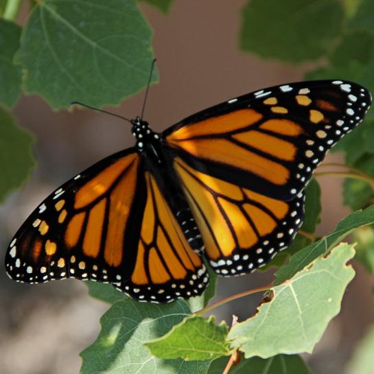 Monarch Butterfly Transcona Boulevard, Winnipeg, MB