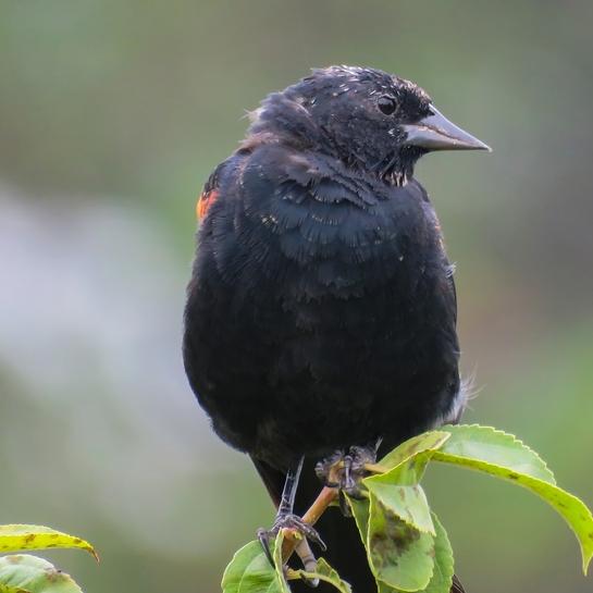 Redwing blackbird Mississauga, ON