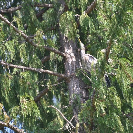 Heron Sicamous, BC