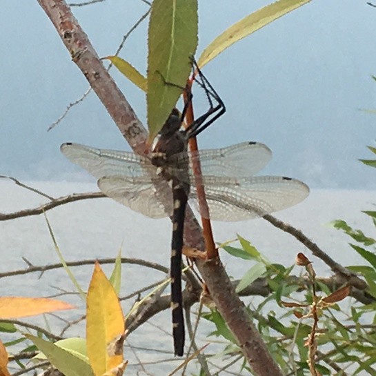 Dragonfly Sicamous, BC