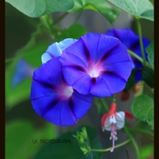Morning Glory Grouping