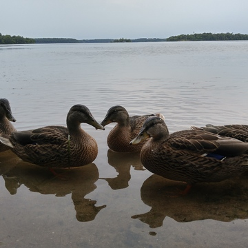 Cottage ducks