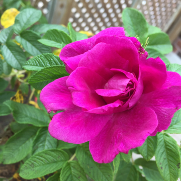 Rose from my garden