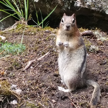 Squirrel in Jonston Canyon