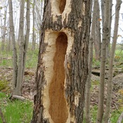 Woodpeckers are destroying our forest in Bruce Peninsula