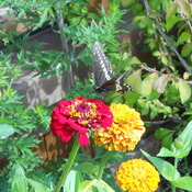 Swallowtail Butterfly on Zinnia Flower