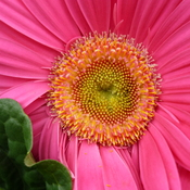 gerbera, zinia, rose of sharon