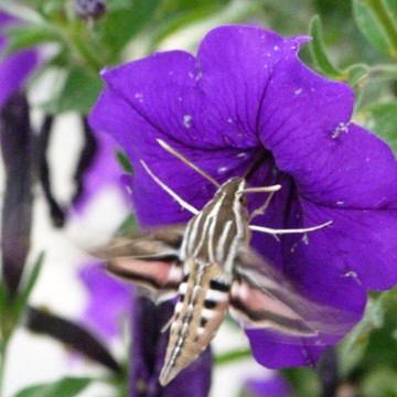 Humming Bird Hawk Moth
