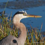 Great Blue Heron Beauty