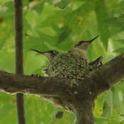 ruby throated hummingbird babies