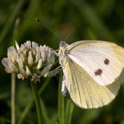 Dainty Sulphur on White Clover