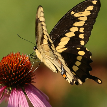 Black Swallowtail Lunch