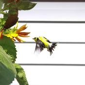 Finch meets sunflower