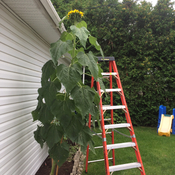 Sunflower in my garden! The tallest in the region any competitor?