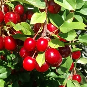 Evans Eclipse Cherries