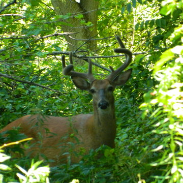 Buck with new growth