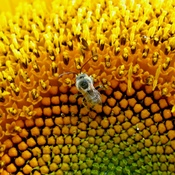Bee in my sunflower