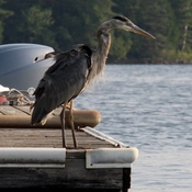 Watching the heron on morning canoe ride