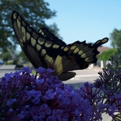 pretty visitor to the butterfly Bush
