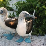 Blue footed bubbies