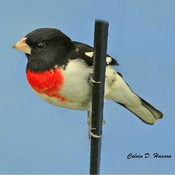 Rose Breasted Grosbeak male