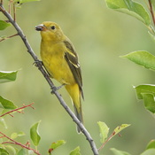 Western Tanager-Female