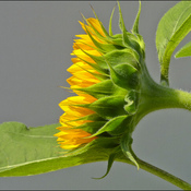 Sunflower profile, Elliot Lake.
