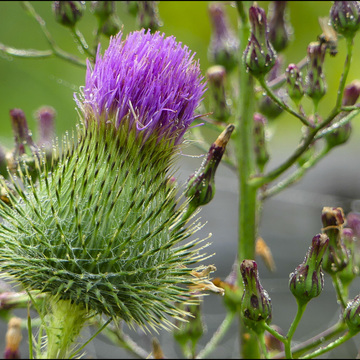 Bull thistle, Elliot Lake.