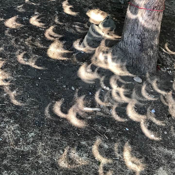 Solar eclipse view through natural pinholes from tree branches