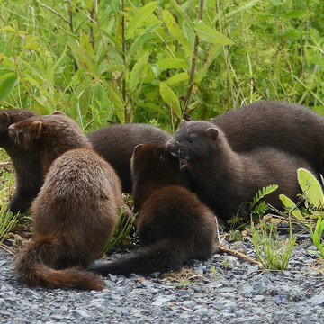 Family of Mink