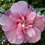 Unusual Rose of Sharon