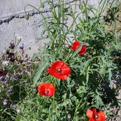 Today's morning-poppies