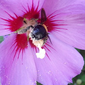 A bee pollinating a Rose of Sharon