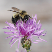 Bumble Bee on Knapweed