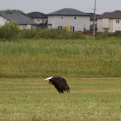 Kildonan Green Bald Eagle
