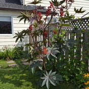 8 ft castor bean (ricin) tropical plant
