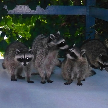 WEST VANCOUVER RACCOON FAMILY - August 23, 2017